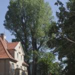ul. Kazimierza Wielkiego - Topola kanadyjska